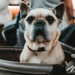 Hond in wandelwagen